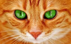 Wallpaper red cat, green eyes, muzzle, look, cat