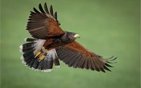 Picture birds, predator, desert Buzzard