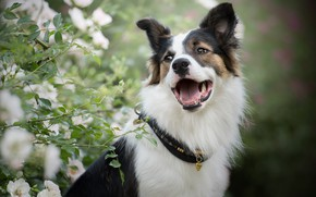 Picture face, portrait, roses, dog, mouth, collar, bokeh