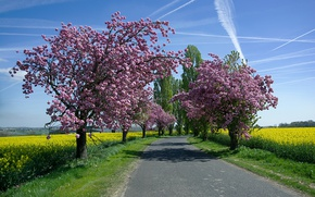 Picture road, the sky, the sun, trees, field, spring, flowering, rape