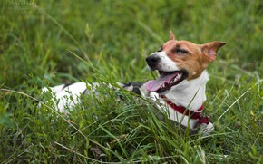 Picture grass, dog, dog, puppy, walk, Jack, Jack Russell Terrier, Russell, Terrier, phenotype, DRT, white-red dog