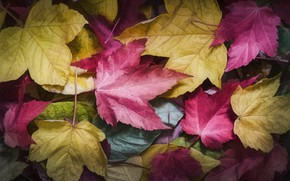 Picture autumn, leaves, maple, colorful