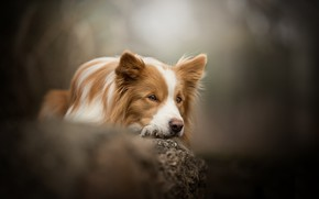 Wallpaper bokeh, The border collie, dog, look, stone