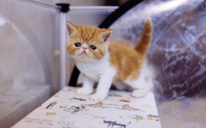 Picture cat, cat, kitty, table, background, small, baby, red, muzzle, kitty, extreme, Boo