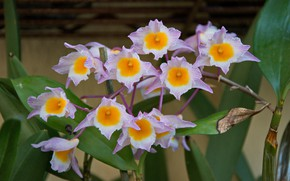 Picture flowers, Orchid, flowering