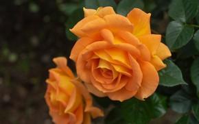Picture macro, roses, petals, Bud, orange