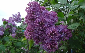 Picture lilac, spring mood, Oh this fragrance