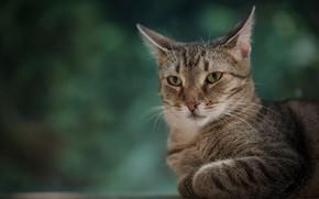 Picture cat, look, background, portrait