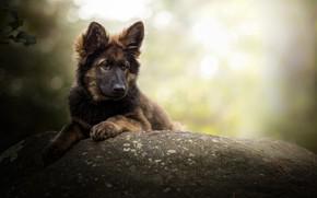 Picture stone, dog, bokeh, German shepherd