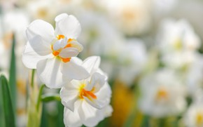 Picture nature, spring, flowering, daffodils
