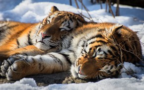 Wallpaper stay, The Amur tiger, snow, two tigers, sleeping tigers, pair, tigers, sleep, wild cat