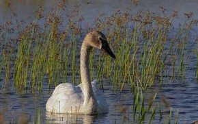 Picture Water, Swan, Bird, Pond, Reed
