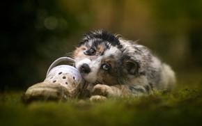 Picture nature, dog, puppy, lies, Australian shepherd, Aussie, gnaws shoes