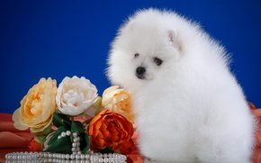 Picture white, flowers, necklace, fluffy, breed, Spitz