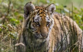 Picture predator, baby, tiger