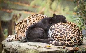 Picture nature, mom, jaguars, baby, cats