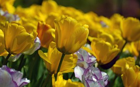 Picture yellow, tulips, buds