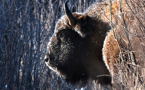 Picture face, branches, horns, Bison, giant of the forest