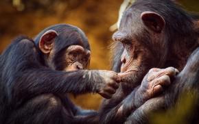 Picture the game, monkey, monkey, cub, chimpanzees
