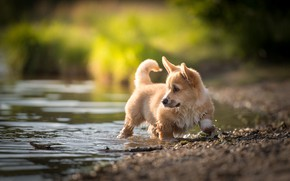 Picture water, baby, puppy, Welsh Corgi