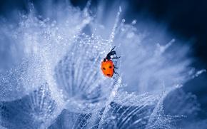 Wallpaper drops, ladybug, glare, dandelion, macro, bokeh