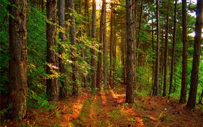 Wallpaper Trees, Landscape, The rays of the sun, Forest, Trees, Forest