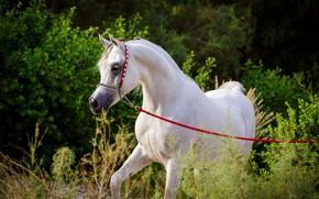Picture white, horse, horse, stallion, grace, Arab