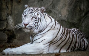 Wallpaper handsome, white, tiger
