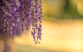 Picture lilac, Wisteria, blur bokeh