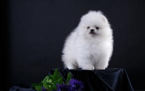 Wallpaper white, flowers, puppy, Spitz