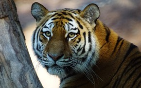 Picture cat, eyes, face, light, close-up, tiger, background, tree, portrait, trunk, wild cats