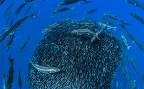 Picture sea, fish, cant, Barracuda, mackerel, Azores, Formigas