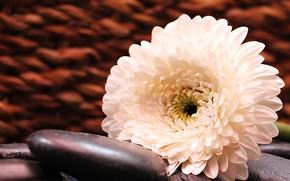 Picture flower, stones, White, Gerbera