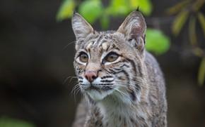 Picture eyes, predator, lynx