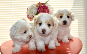 Picture dogs, flowers, background, bouquet, window, puppies, small, puppy, three, white, kids, trio, table, cuties, blinds, ...