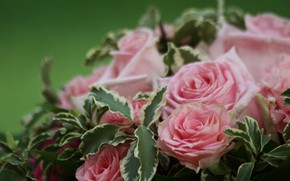 Picture macro, roses, bouquet, pink