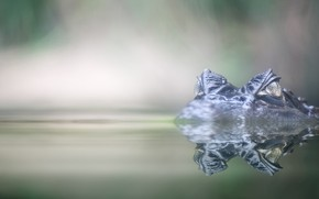 Picture eyes, water, crocodile