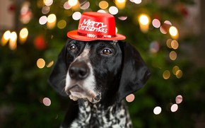 Picture eyes, look, face, close-up, background, holiday, the inscription, new year, portrait, Christmas, dog, blur, lights, …