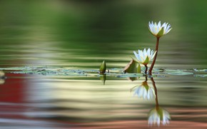 Picture macro, petals, water Lily