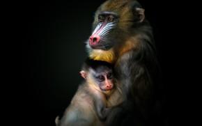 Picture monkey, monkey, cub, black background, the dark background