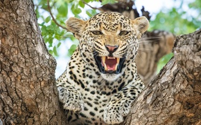 Wallpaper wild cat, on the tree, grin, fangs, anger, roar, the threat, aggression, face, angry, mouth, ...