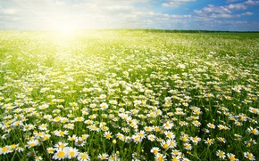Picture Flowers, Field, Chamomile, A lot