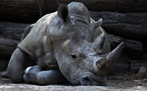 Picture look, Rhino, zoo