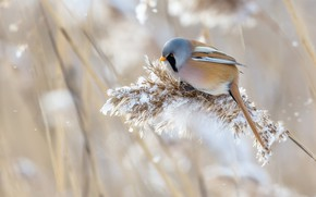 Picture winter, grass, snow, nature, bird, bearded Tits, panicle