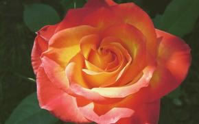 Picture Bokeh, Bokeh, Orange Rose, Orange Rose