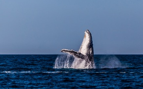 Picture sea, ocean, blue, water, seascape, splash, animal, jumping, wildlife, pacific, whale, fin, humpback whale, megaptera …