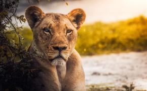 Picture face, branches, predator, river, lioness, the bushes, bokeh