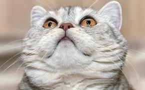 Picture cat, look, portrait, muzzle, cat