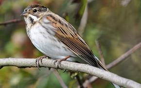 Picture bird, branch, beak, tail, reed Bunting