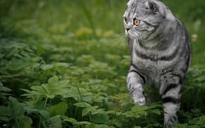 Picture cat, grass, Scottish fold, Scottish fold cat